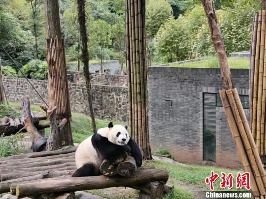 """通讯:海外华媒在川""""趣逗""""大熊猫"""
