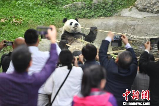 """海外华媒在川""""趣逗""""大熊猫。 张浪 摄"""